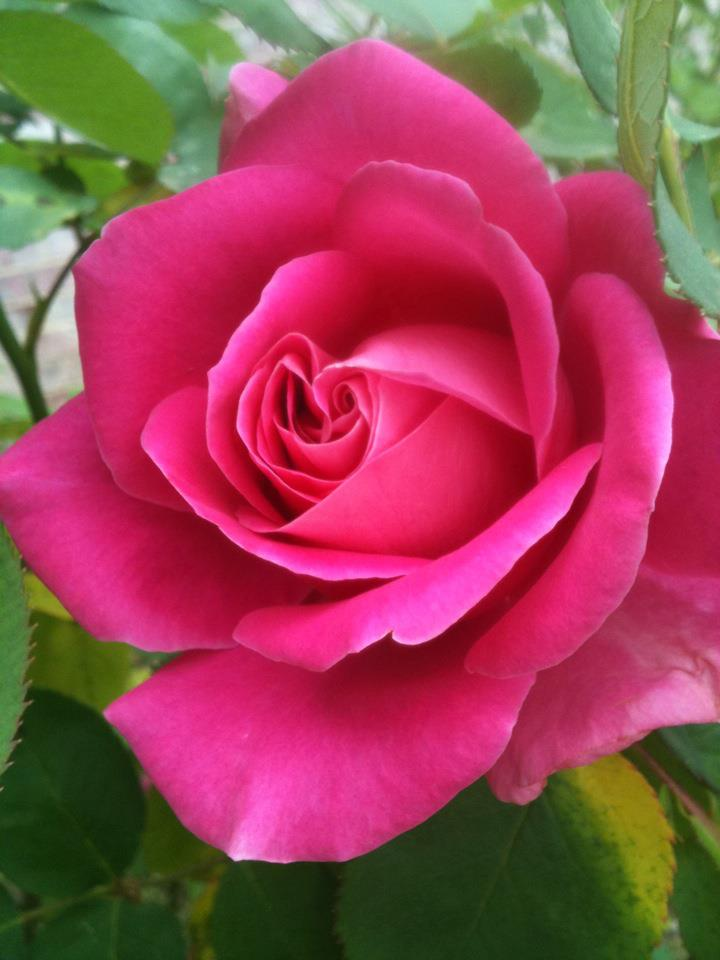Rose from Lisa Lawrence on FB April 2012